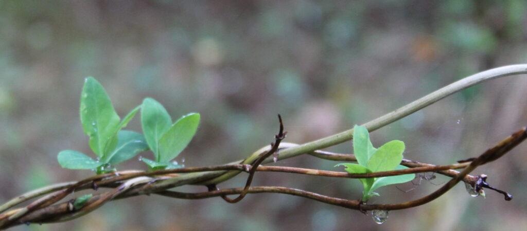 gren med grønne blade og regndråber der drypper. Blur baggrund.
